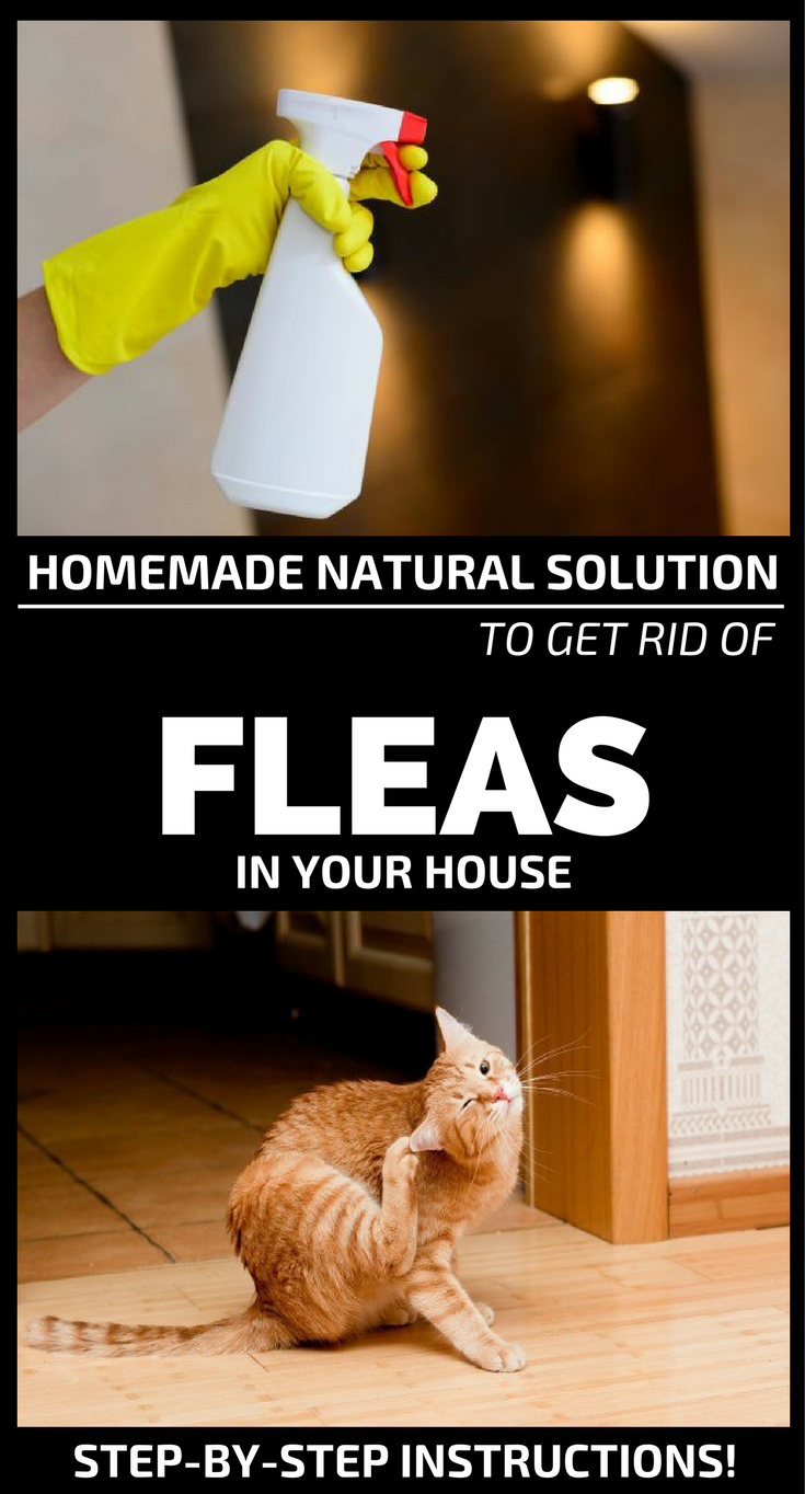 homemade natural solution to get rid of fleas in your house. Black Bedroom Furniture Sets. Home Design Ideas