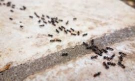 Non-Toxic Spray To Get Rid Of Ants